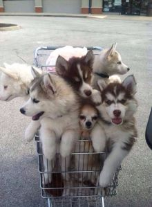trolley of huskies